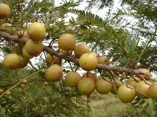 Amalaki - Amla - natūralus vitaminas C l Guoda Azguridienė